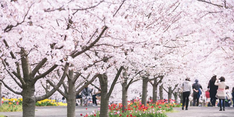 Viajar a Japón por negocios o turismo: primavera.